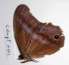 Coelites euptychioides