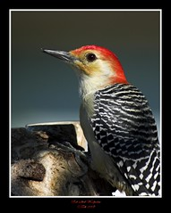 Red-bellied Woodpecker (Momba (Trish)) Tags: red bird nature interestingness woodpecker nikon tennessee explore redbelliedwoodpecker nikkor interestingness9 redbellied momba supershot flickrsbest specanimal vosplusbellesphotos expressyourselfaward explore12april2009 scientificnamemelanerpescarolinus commonnameredbelliedwoodpecker