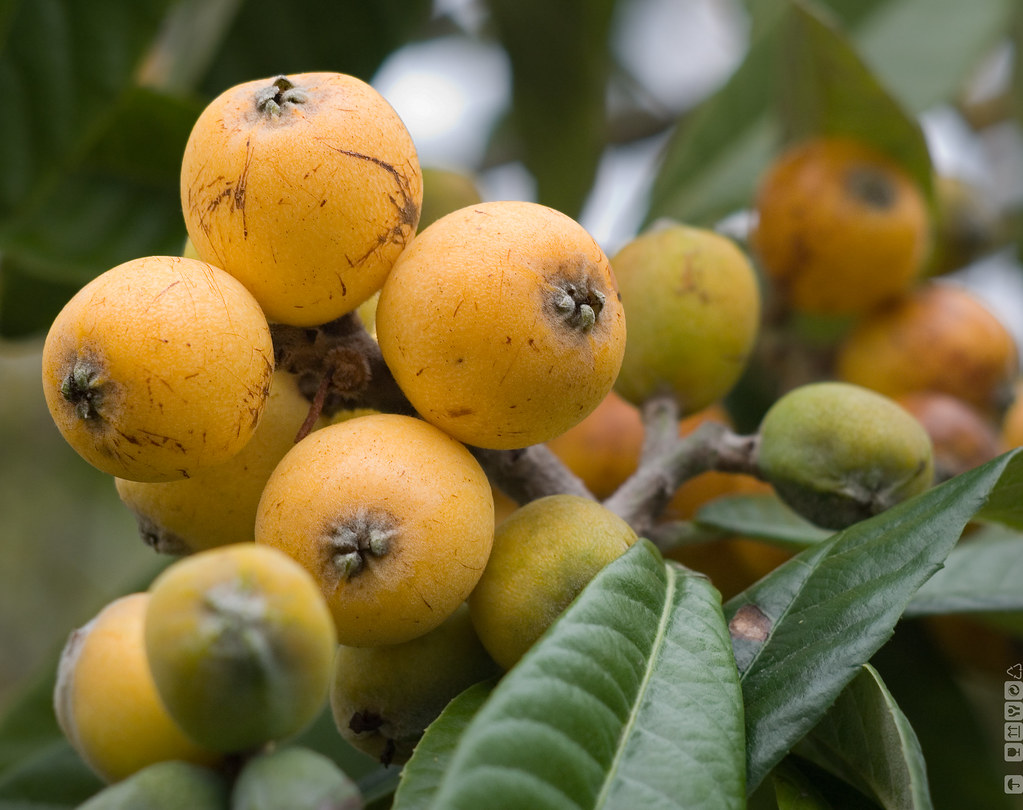 Maltese plum - Japanese medlar-  Loquat - ?? - níspero