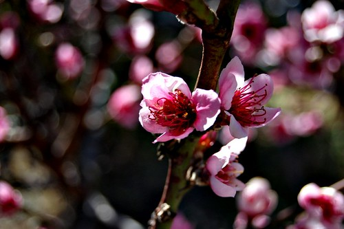 Nectarine_Closeup_Easter_09