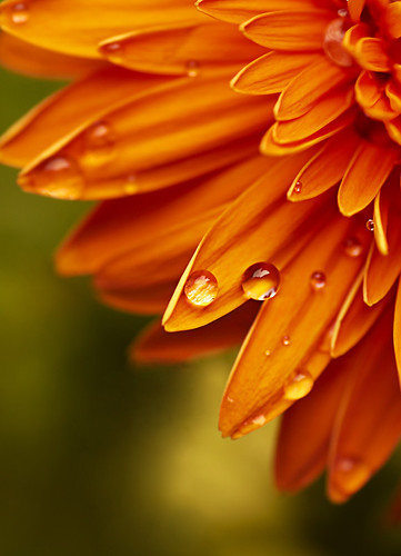 Orange Gerbera by Rixoon