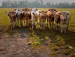De Betuwe ,klassefoto 2009 . (Wouter van Wijngaarden) Tags: holland nature dutch canon landscape cows nederland thenetherlands natuur curious wouter wout landschap koeien gelderland delinge nieuwsgierig coth tricht g10 debetuwe photoexplore woutervanwijngaarden woutvanwijngaarden canonpowershotg10 worldlightning thebestofcanonpowershotg10 woutvanwijngaardenbaarn qualitysurroundings expressyourselfaward langsdelinge adrinnesmagicaltour woutervanwijngaardenbaarn