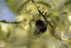 Spring (Pavel Vanik) Tags: nature canon eos spring bumblebee greatshot czechrepublic bohemia ohhh pictureperfect gmt 30d lambstails 70300is otw plasy colorphotoaward goldstaraward closeuplens500d vosplusbellesphotos mmmilikeit