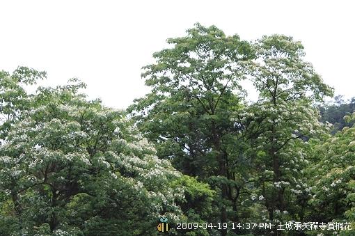 09.04.19 一探土城承天寺桐花花況 (22)