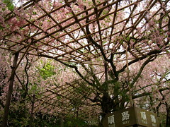 Spiderman's Spring Cottage (Sanctu) Tags: park pink roof flower tree green nature japan garden season spring scenery kyoto shrine scaffolding blossom spiderman bloom  cherryblossom greenery sakura shinto kyotoshi shrine heian herovillian  jing
