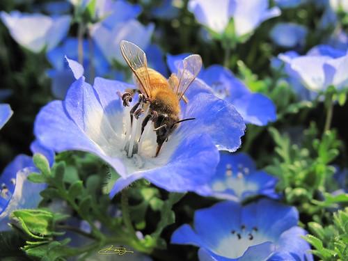 Honeybee by G10