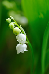 Lily of the valley (myu-myu) Tags: white flower macro nature nikon explore mygarden lilyofthevalley flowerotica  impressedbeauty d700 theunforgettablepictures tup2 naturemasterclass excellentsflowers