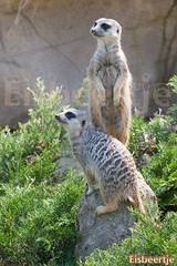 Blijdorp (Eisbeertje) Tags: animal animals zoo rotterdam blijdorp nikon nederland dieren dier tiergarten tier dierentuin tieren