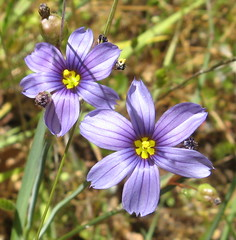 Blue eyed grass (Madrone Soda Springs (historical), California, United States) Photo