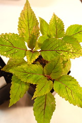 Coleus (Tilt-a-Whirl Baby #3/Cream Sport) Winter Color