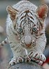 Baby White Tiger (Chi Liu) Tags: nature animal canon tiger whitetiger naturesfinest chiliu specanimal babywhitetiger onephotoweeklycontest
