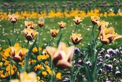 Flora Kln (sftrajan) Tags: flower primaver