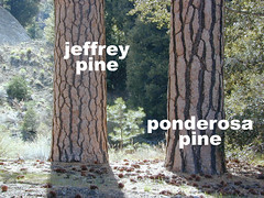 California Pines: Jeffrey or Ponderosa? (totalescape.com) Tags: california mountain tree pine club forest los national bark padres wilderness forests jeffreypine ponderosapines vanillascent