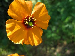 Wind poppy Photo