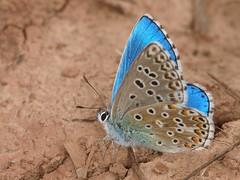 Polyommatus (Meleageria) bellargus (diegocon1964) Tags: lepidoptera lycaenidae polyommatus papilionoidea lycaeninae bellargus polyommatini meleageria polyommatusmeleageriabellargus