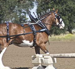 Clydesdale (Just chaos) Tags: from horse view you photos or everyone ungulate animalia mammalia equus domesticated lodi equidae chordata perissodactyla oddtoed draftfest09 caballusx