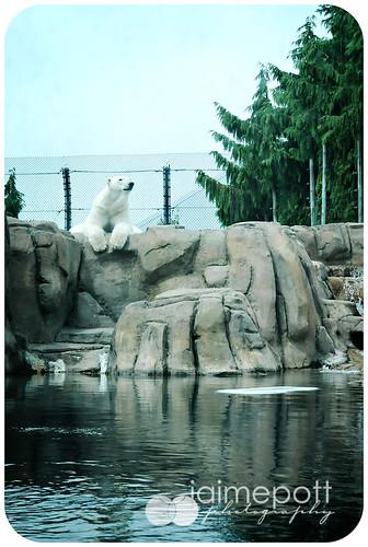 Polar Bear at Toledo Zoo