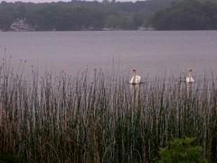(k8southern) Tags: swans cygnets lakejames