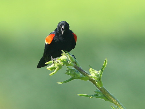 Red-winged Blackbird 20090629