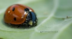 Ladybird.........................coccinella (Antoniologic  http://www.antonioleo.it/) Tags: color macro animal insect flickr italia dof natural leo natura bugs ladybird elegant antonio supermacro 2009 2010 insetti coleoptera coccinellidae coccinella sunligth explor esplora nikond80 lucesolare 100mmtokina antoniologic supermacronotcropped photographicworks antonioleoit httpwwwantonioleoit