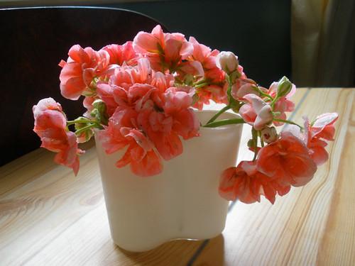 Pink geranium flowers in small Aalto vase