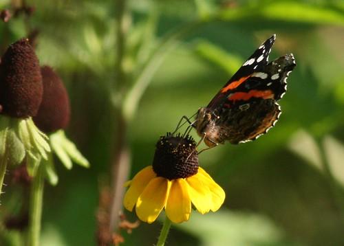 Butterfly - 5/29/2009