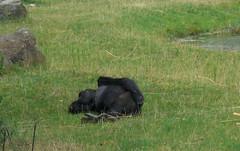 CIMG1790 Beekse Bergen Safari park - gorilla (pinktigger) Tags: park holland netherlands gorilla nederland safari safaripark beeksebergen