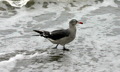 Bird in the Water (bassibanezacura) Tags: pines torrey torreypines081509