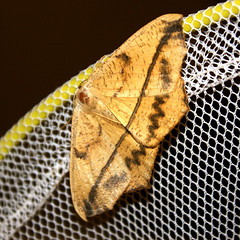 Large Maple Spanworm Moth (Prochoerodes lineola) - 31