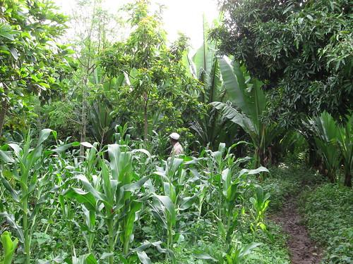 Kawa Kabele forest gardens