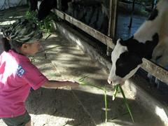 20090722-yoyo餵牛