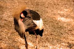 Gru (LaKry*) Tags: bird nature strange animal neck feathers natura animale strano plumes uccello collo piume cartigliano parcocappeller