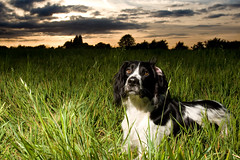"(258/365) ""Marley, flop one ear back mate so I can take your photo........cheers!"" (Dusty V) Tags: sunset sky dog grass clouds nikon flash springerspaniel d90 project365 strobist sb900 dustyv"
