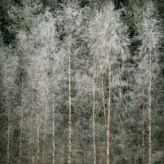 In Full Dress (Olli Kekäläinen) Tags: trees winter snow color forest photoshop suomi finland square woods nikon birch 2009 d300 themoulinrouge 500x500 artlibre ok6 ollik 20090218