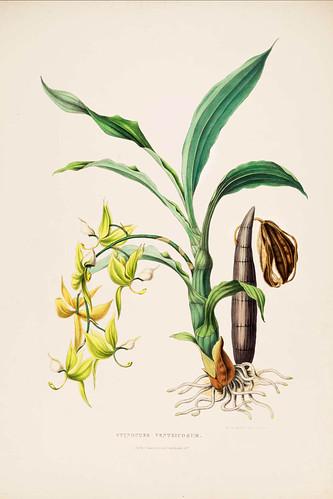 011- Orquideas de Mexico y Guatemala 11