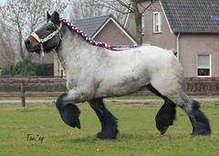 DSC_6290 2 Roel van de Lindehoef (Ton van der Weerden) Tags: horses horse de cheval nederlands belges draft chevaux belgisch trait trekpaard hengsten trekpaarden