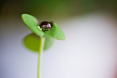 black pearl (CortneyR-) Tags: white plant black macro reflection green water dof bokeh drop droplet clover storypeople sigma105mm brillianteyejewel 2009yip