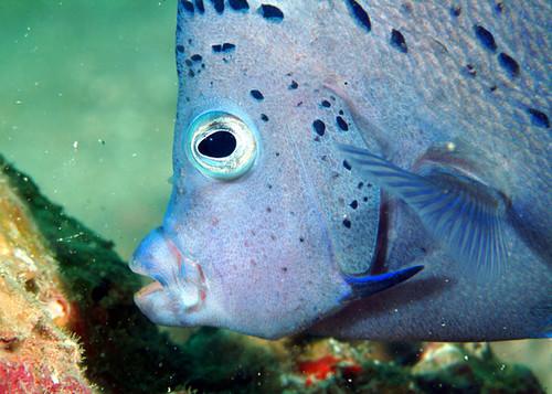 سمكة عنفوز الملائكية - فريق الغوص