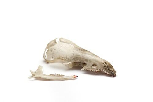 schedel bosspitsmuis