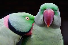 [フリー画像] [動物写真] [鳥類] [インコ科] [ホンセイインコ]       [フリー素材]