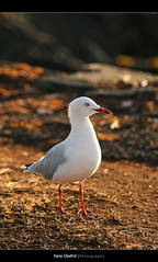 HBW ([ Kane ]) Tags: morning sun bird dawn kane seagul gledhill kanegledhill humanhabits kanegledhillphotography