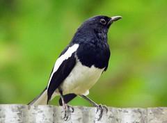 Oriental Magpie Robin (YIM Hafiz) Tags: birds srilanka orientalmagpierobin blueribbonwinner sonydsch2 dhargatown micarttttworldphotographyawards micartttt