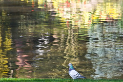 Water world 1 (kuzdra) Tags: lake reflection bird water birds pigeon jardindesplantes