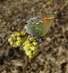 Juniper (Olive) Hairstreak (Daisy Mai-ling) Tags: butterfly hairstreak juniperhairstreak callophrysgryneus insectsandspiders olivehairstreak vosplusbellesphotos lincolncountymo mdc75