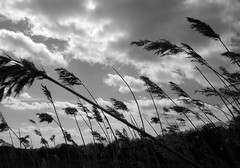 Reeds in the wind (chrisgannon) Tags: white black weather clouds reeds walking gtv nwn cotcmostinteresting fortwitter gannontv