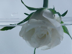 studio sul bianco (1 di 3) (l'eremita) Tags: roses white water drops rosa gift acqua bianco rifiuto acceptance goccia dono bagnata affogare accettazione annegare contratio