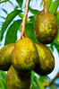 Spondias pinnata (kedondong) (T Ξ Ξ J Ξ) Tags: indonesia 60mm westjava nikkor soe serpong d300 naturesfinest abigfave teeje kedondong platinumphoto spondiaspinnata