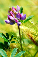 pastoral bokeh wednesday (salazar62) Tags: flower nature insect spider bluebonnet lupine potofgold flowerpicturesnolimits