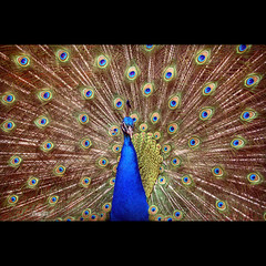 Overcoming death (Vesuviano - Nicola De Pisapia) Tags: life easter peacock symbols eternity eternal immortality pasqua pavone supershot eternit immortalit vesuviano vosplusbellesphotos
