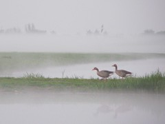 geese in the mist (Photos Ali) Tags: two mist holland reflection netherlands grass weather birds landscape evening geese meadow ganzen zuidholland oukoop sailsevenseas